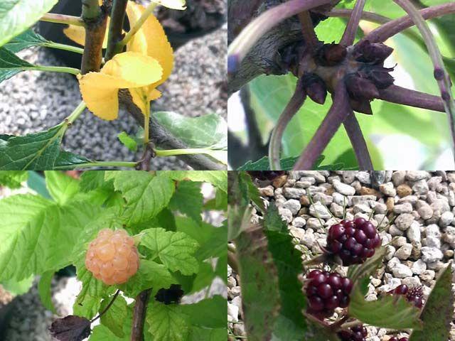 黄葉,花芽,ラズベリー,ブラックベリー