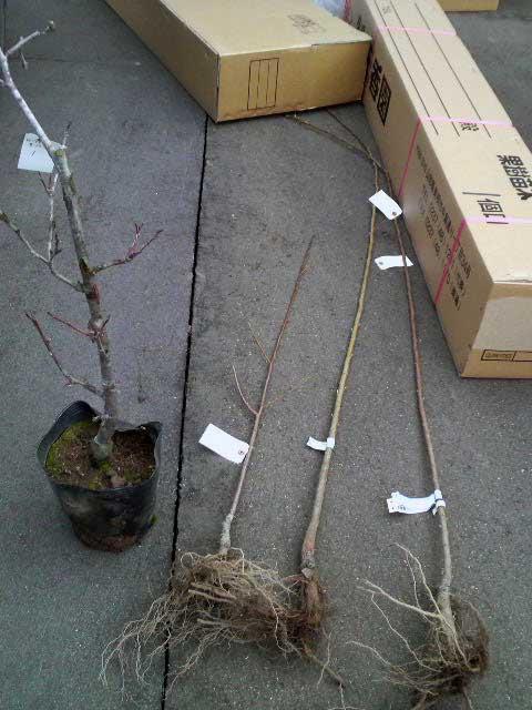 精農園の苗木
