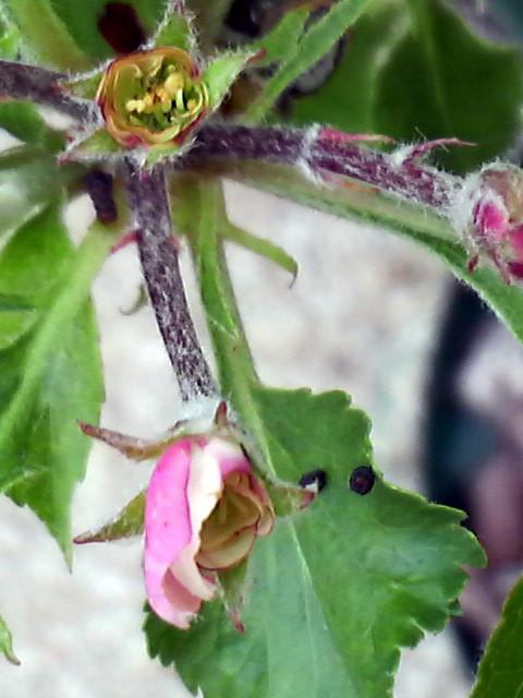 トキの花芽