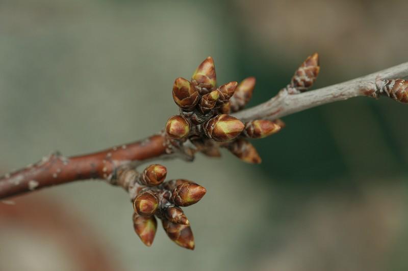 さくらんぼ(紅岩木)の芽